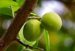 梅の実のなった木