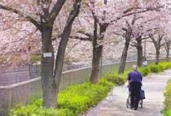 桜の散歩道のイメージ