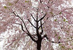 桜の木の下のイメージ