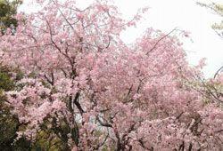満開の桜のイメージ