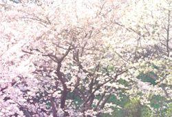 桜並木のイメージ